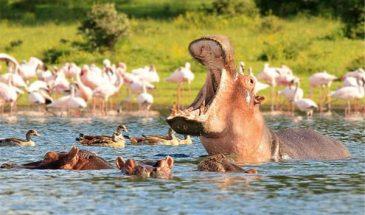 Lake_Naivasha_Hippo