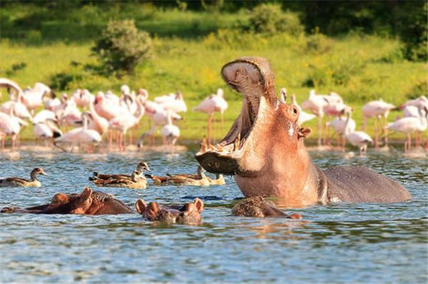 Hippo - Lake Naivasha