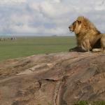 Serengeti_NP_Lion_01