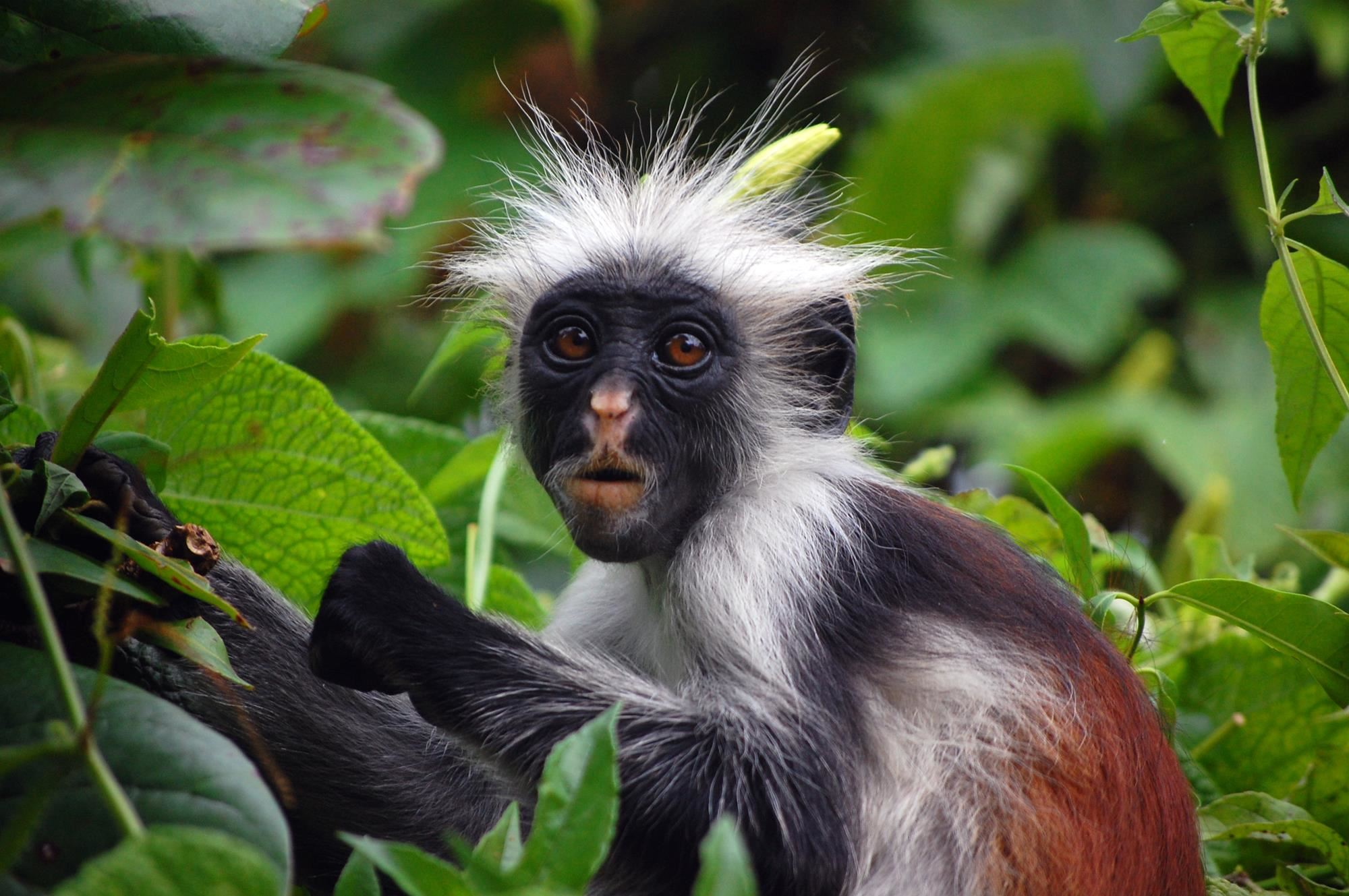 Jozani Chwaka rare monkeys.