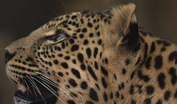 Leopard_Background_img