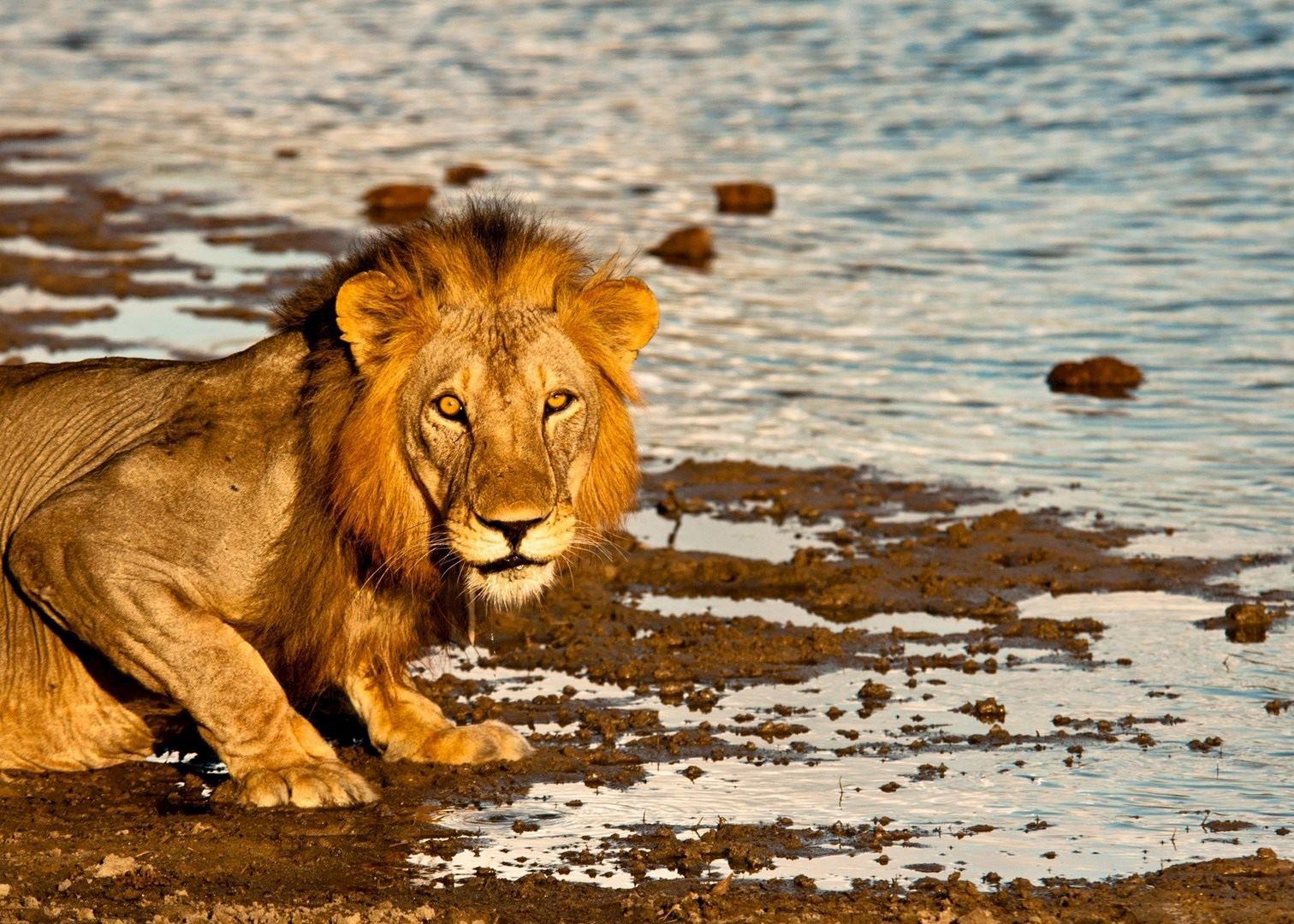 Selous_Lion_img
